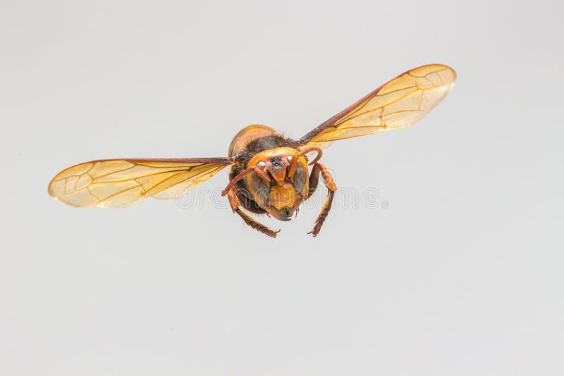 Latająca osa, insekt zdjęcia stock