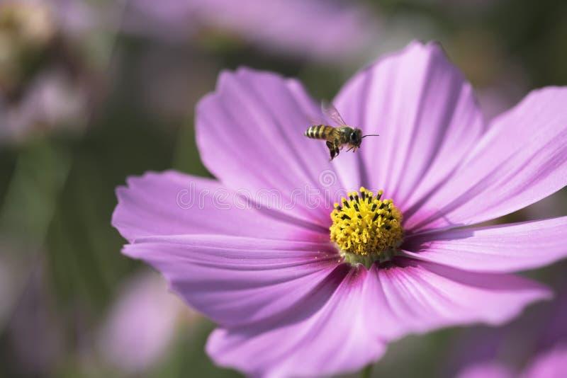 Latająca pszczoła na wierzchołku menchie kwitnie obrazy stock