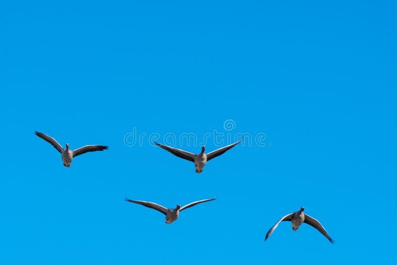 Latające Gęgawe gąski jasnym niebieskim niebem zdjęcie royalty free