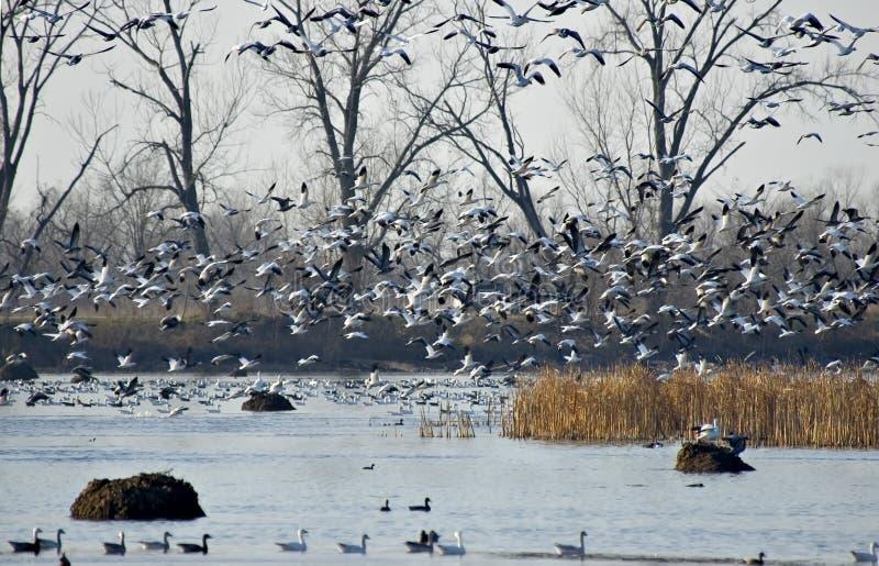 latające gęsi śnieżne obraz stock