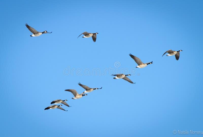 latające kanadyjskich gęsi zdjęcie royalty free