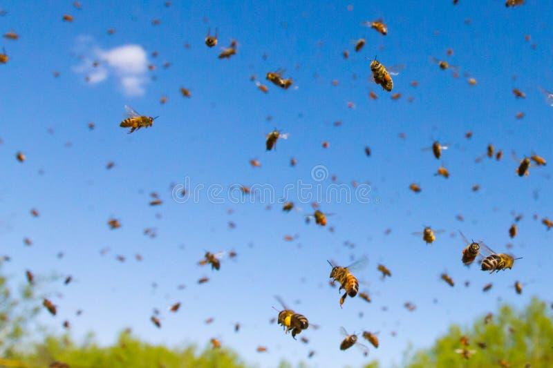 Latające Miodowe pszczoły zdjęcie royalty free