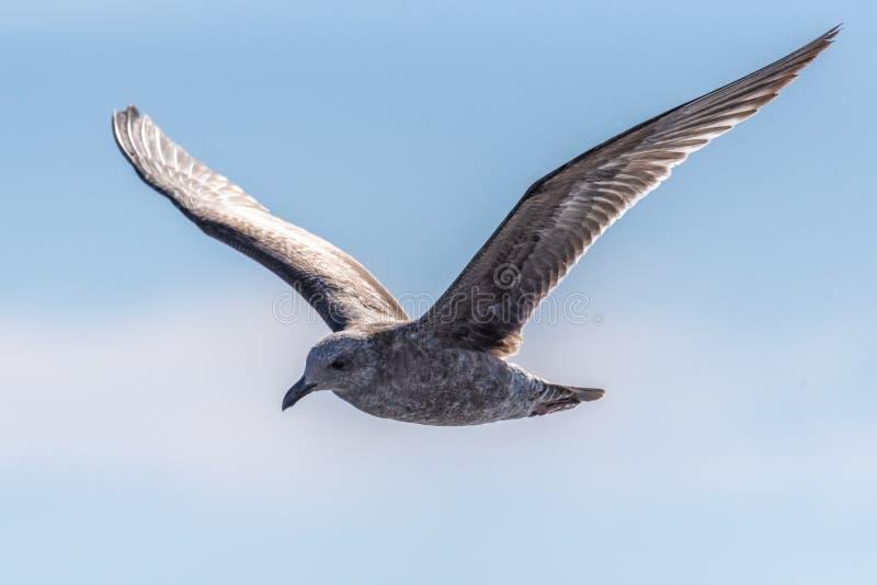 Latające ptaki morskie na południowej wyspie Kalifornia obrazy royalty free