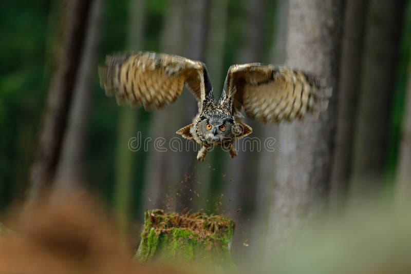 Latającego ptaka eurazjata Eagle sowa z otwartymi skrzydłami w lasowym siedlisku z drzewami zdjęcie stock