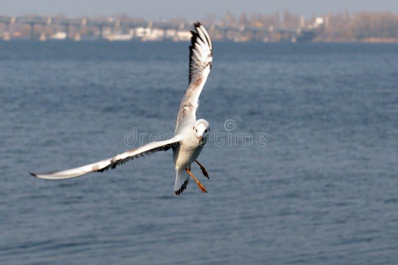 latającego ptaka mewa niebo czyste zdjęcie royalty free