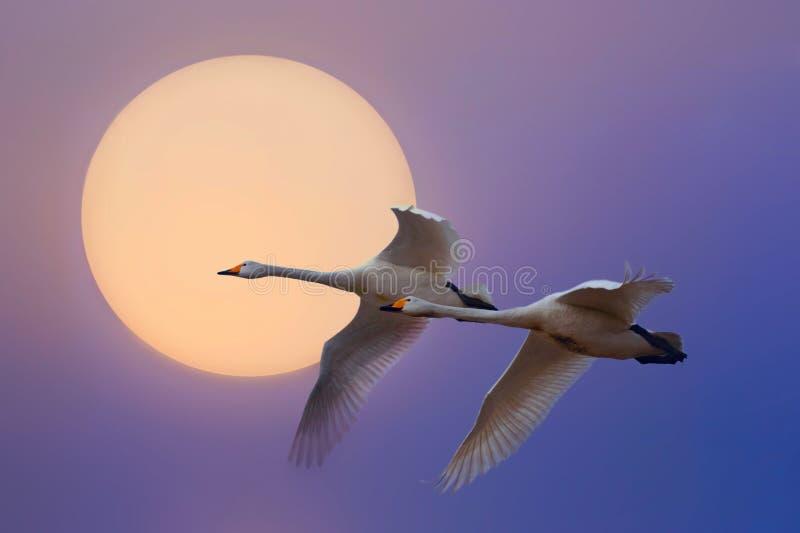 latający łabędź zdjęcia stock
