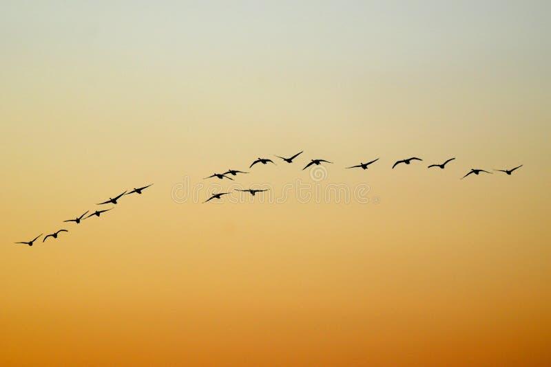 latający łabędź fotografia stock