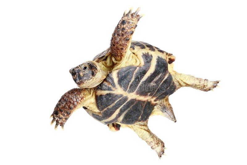 latający żółw fotografia royalty free