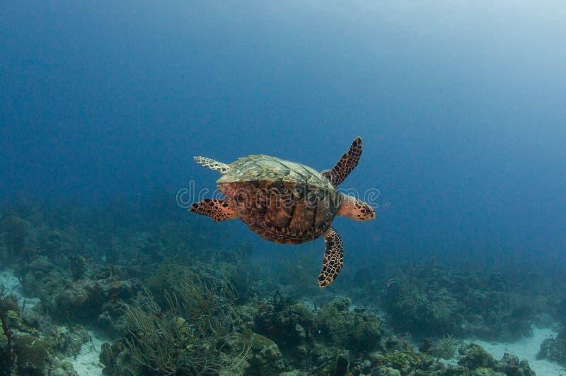 latający żółwia obrazy royalty free