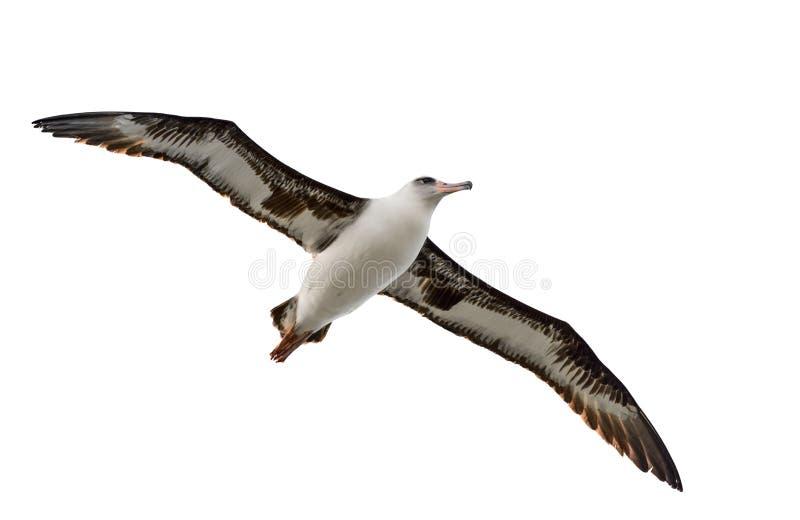 Latający albatros odizolowywający na białym Kauai Hawaii zdjęcia stock
