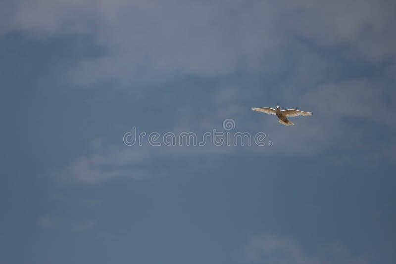 Latający biały gołąb fotografia royalty free