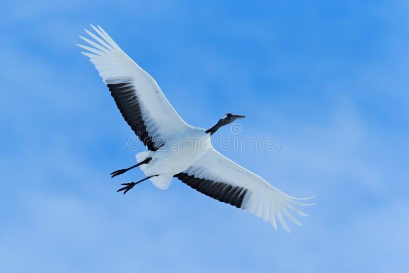 Latający Biały ptak Koronujący żuraw, Grus japonensis z otwartym skrzydłem, niebieskie niebo z bielem chmurnieje w tle, hokkaido, zdjęcia stock