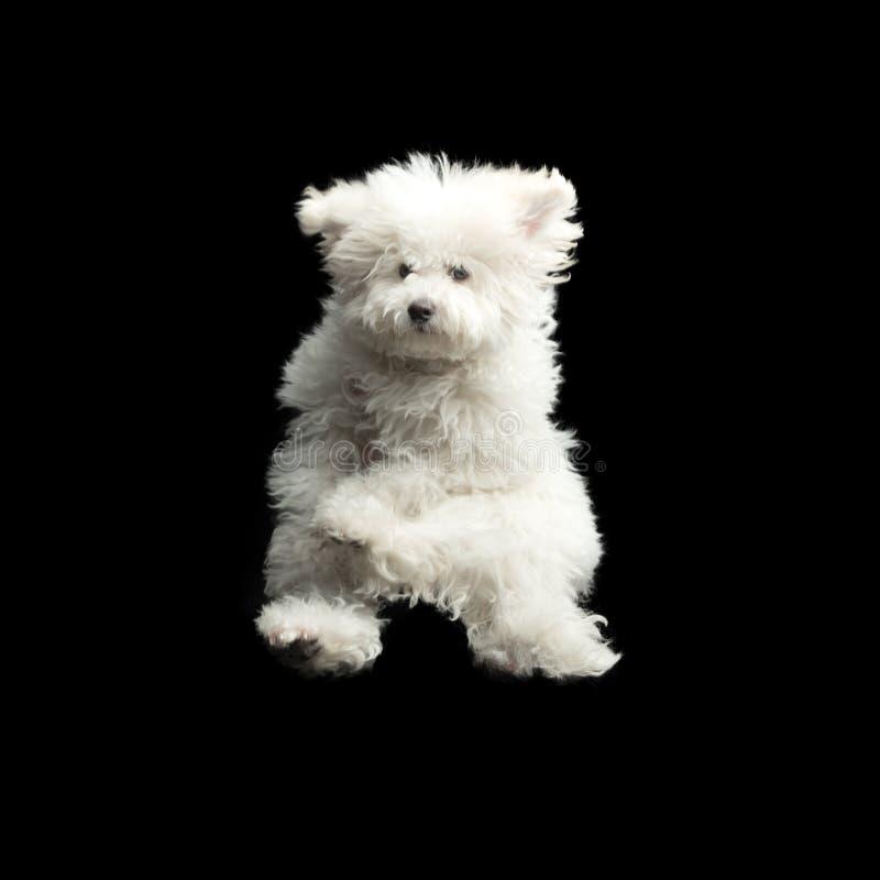 Latający bielu pies na czarnym tle Skokowy szczęśliwy szczeniak obrazy stock