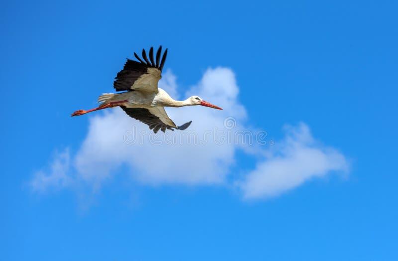 Latający bocian na tle bielu niebieskie niebo i chmury fotografia royalty free