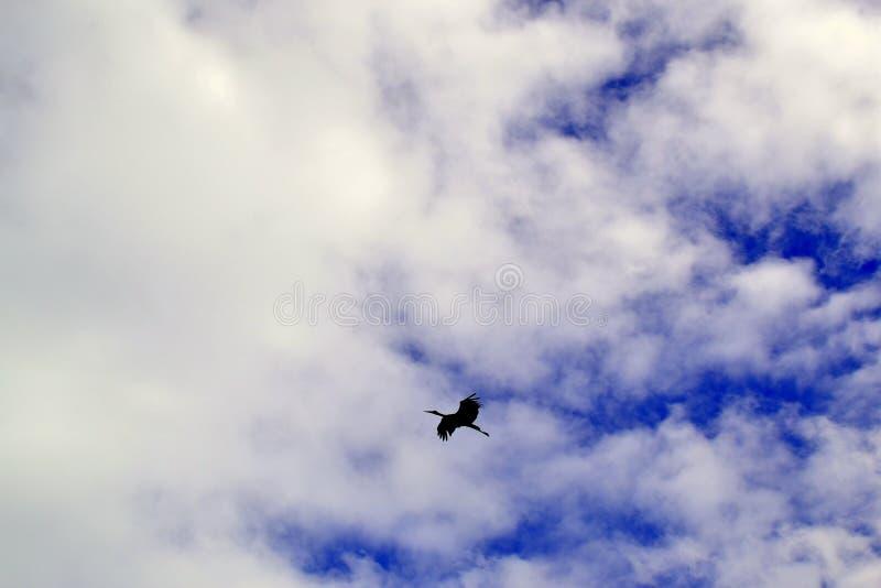 Latający bocian w niebie zdjęcia stock