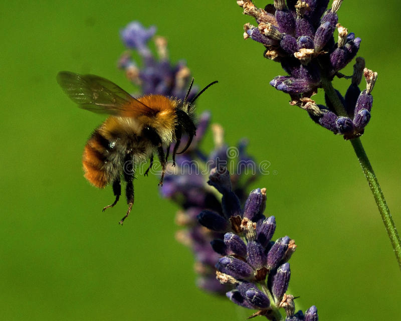 Latający Bombus pascuorum wokoło kwiatów zdjęcie royalty free