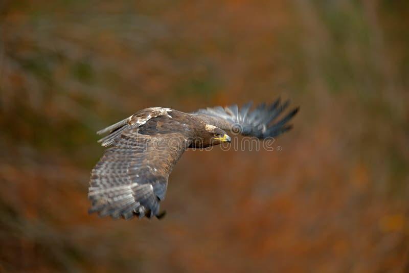 Latający ciemny brawn ptak zdobycz Stepowy Eagle, Aquila nipalensis z wielkim wingspan, obraz royalty free