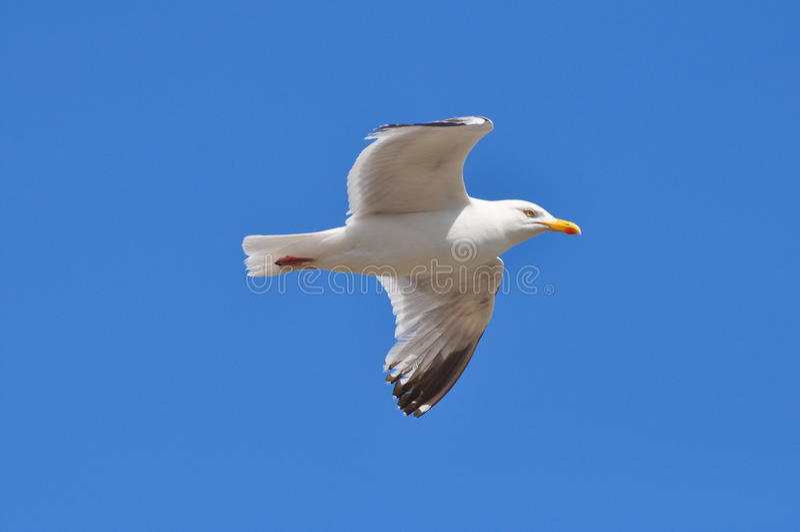 latający frajer fotografia stock