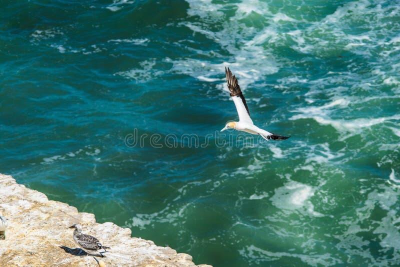 Latający gannet ptak obrazy royalty free