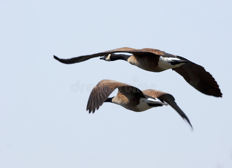 latający geeses zdjęcie royalty free