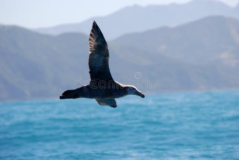 latający gigantyczny północny petrel zdjęcia royalty free