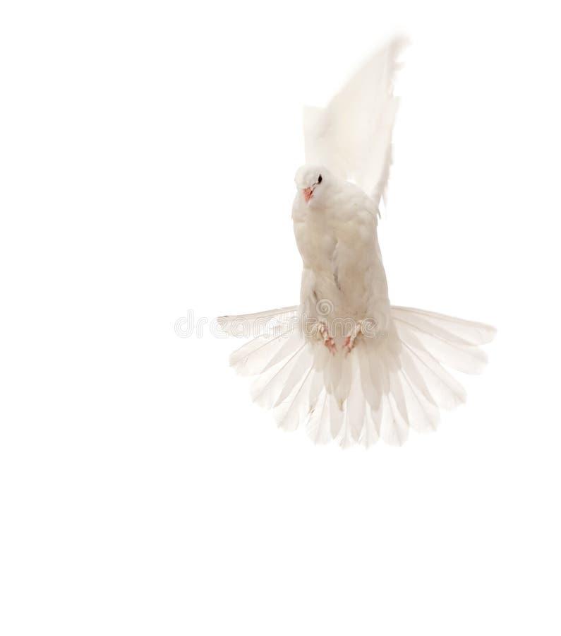 latający gołąb zdjęcia royalty free