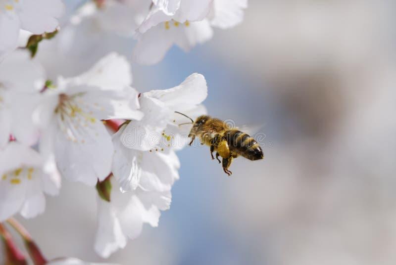 latający honeybee fotografia stock