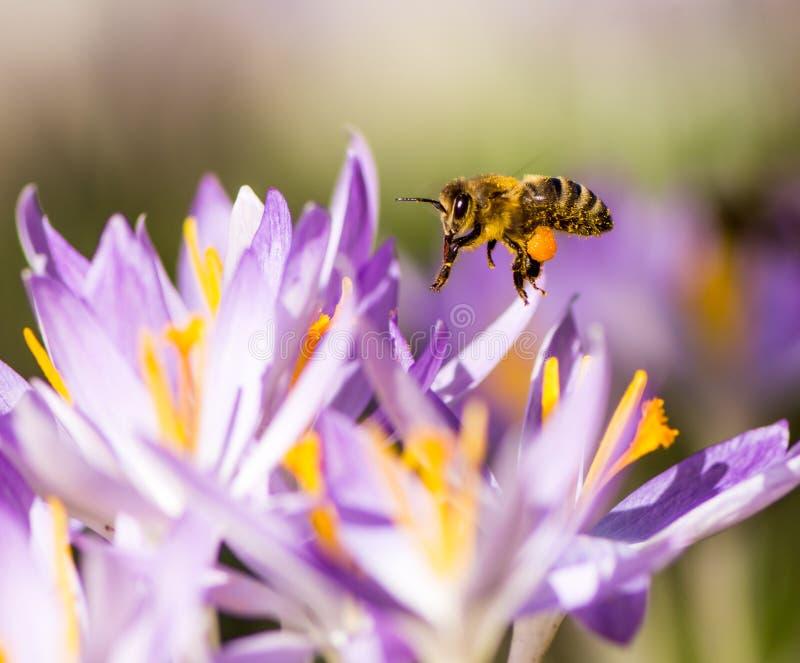 Latający honeybee zapyla purpurowego krokusa kwiatu obrazy stock
