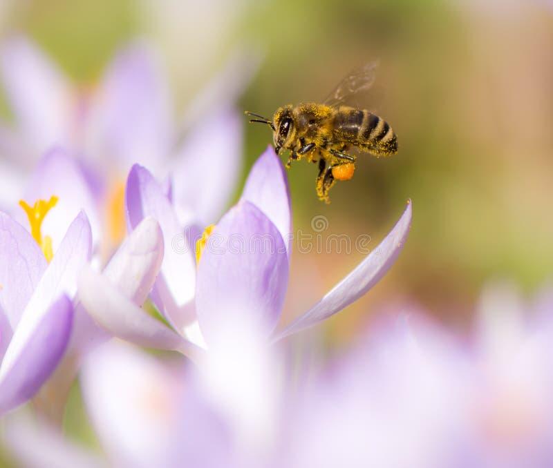 Latający honeybee zapyla purpurowego krokusa kwiatu obraz royalty free
