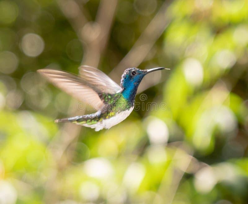 Latający Hummingbird w Ekwador obrazy stock