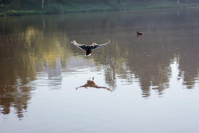 Latający kaczki pluśnięcia puszek jezioro fotografia stock