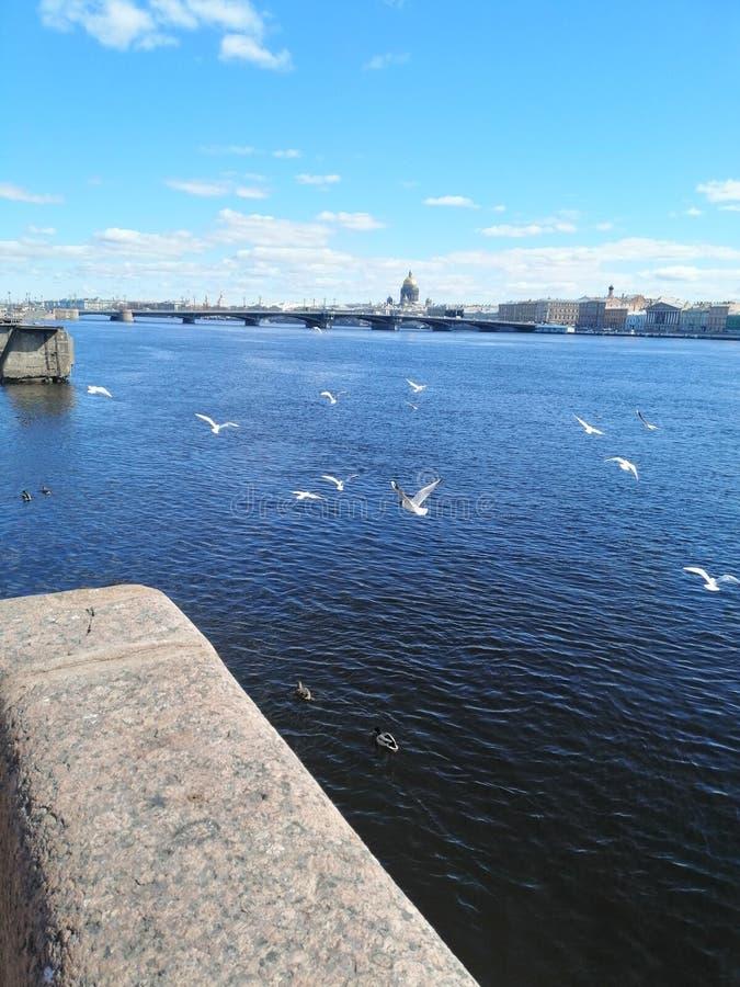 Latający kierdel seagulls nad rzeką zdjęcie royalty free