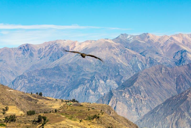 Latający kondor nad Colca jarem, Peru, Ameryka Południowa To jest kondorem duży latający ptak obrazy royalty free