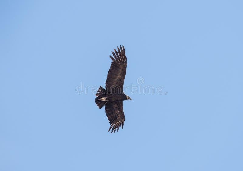 Latający kondor nad Colca jarem, Peru Kondor jest dużym latającym ptakiem na ziemi fotografia royalty free
