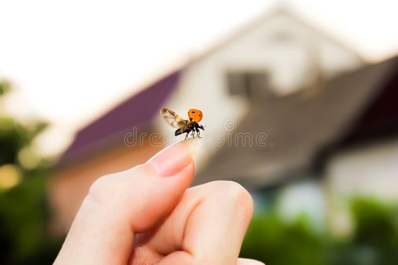 Latający ladybird zdjęcie royalty free