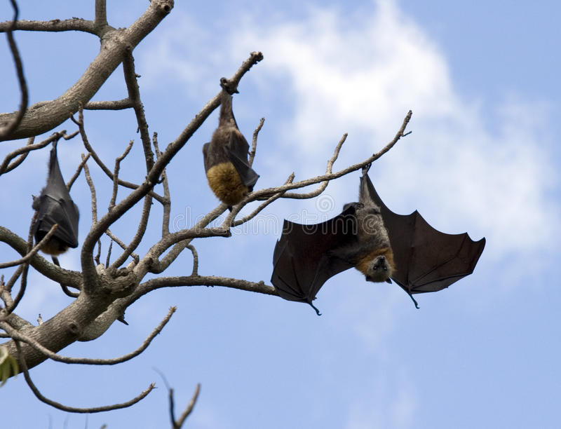 latający lis obraz royalty free