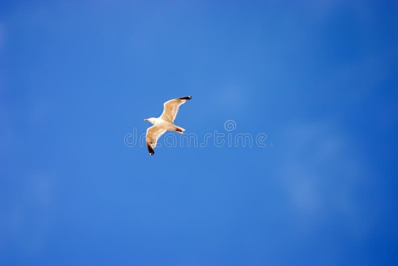 latający mewa fotografia stock