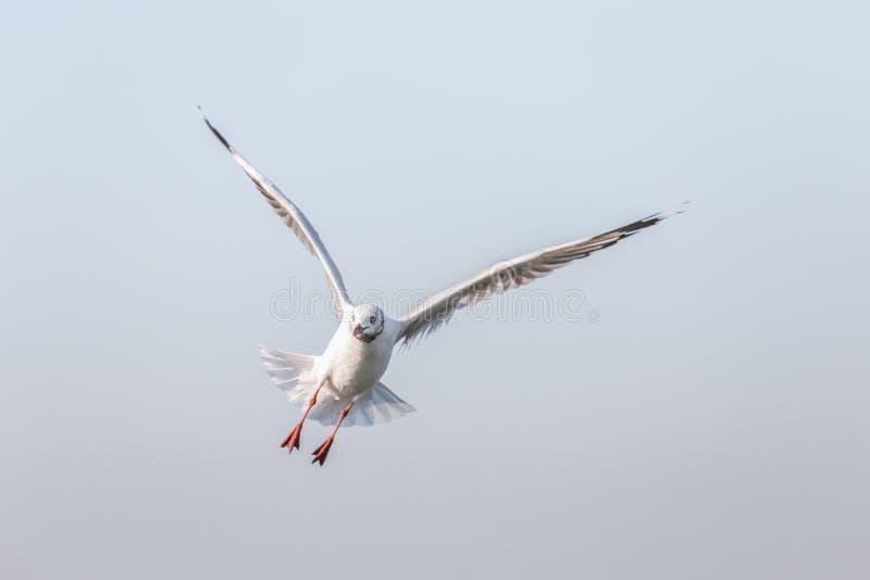 latający mewa niebo niebieskie fotografia royalty free