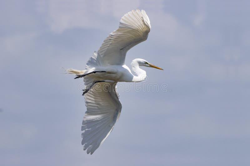 Latający nad rzeką Beładny Egret obraz stock