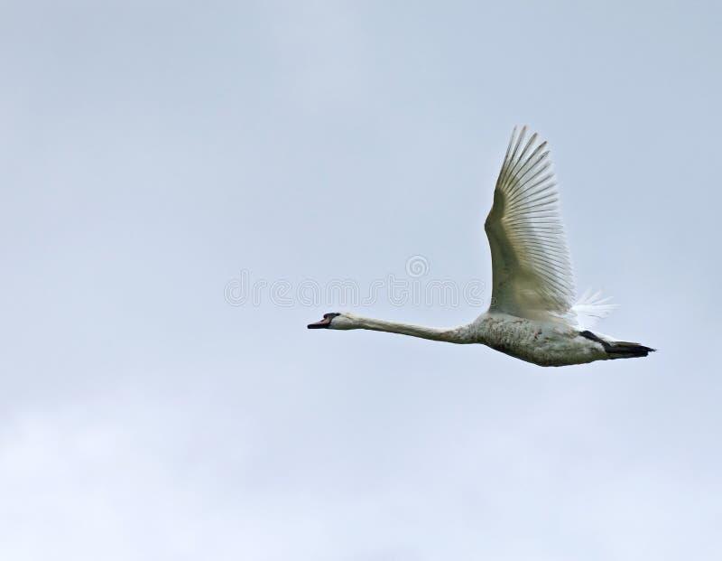 latający niemy łabędź zdjęcia stock