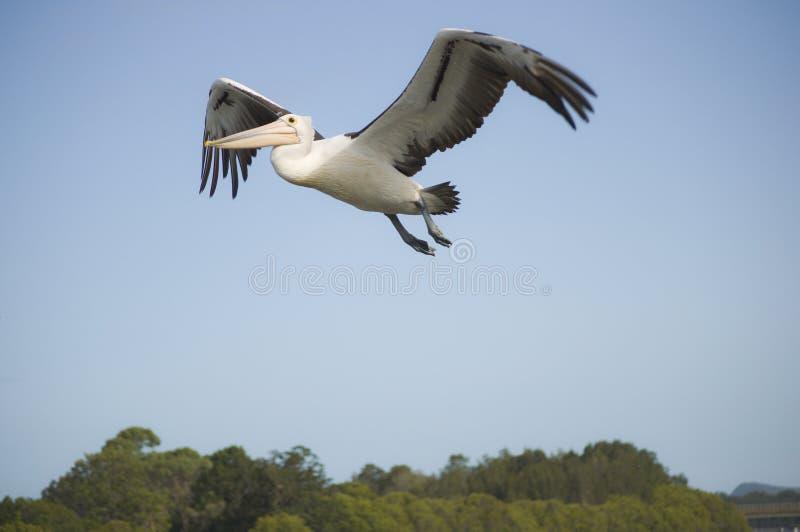 latający niski pelikan zdjęcia royalty free