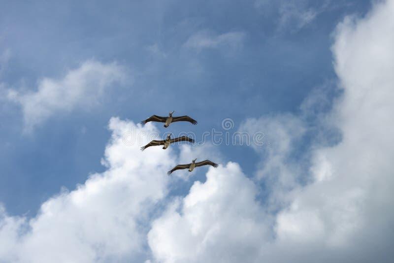 Latający pelikany fotografia stock