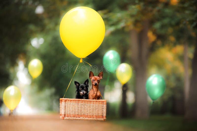 Latający pies na balonie w koszu Mały zwierzę domowe na naturze w parku zdjęcia royalty free