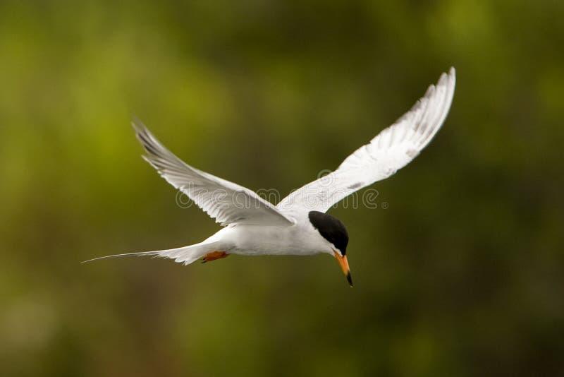 Latający Ptak zdjęcia stock