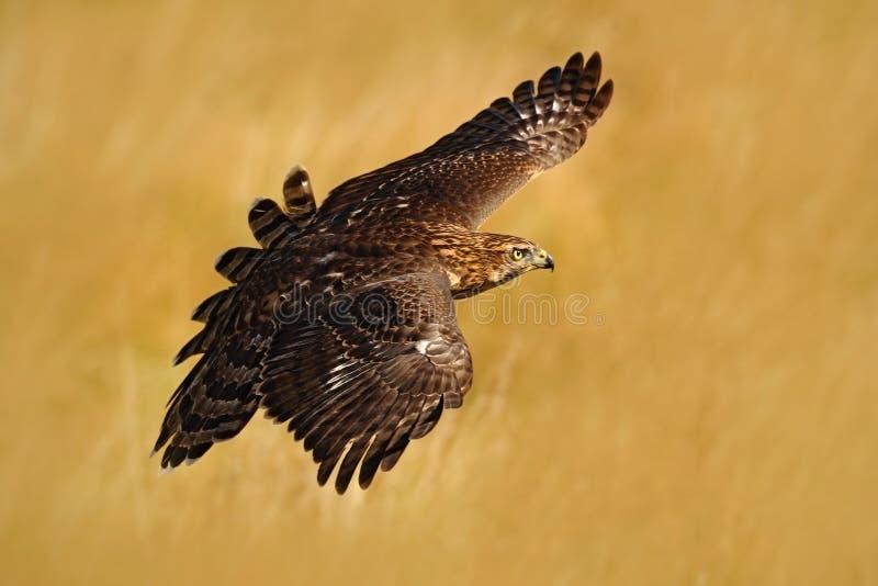 Latający ptak zdobycza jastrząb, Accipiter gentilis z żółtą lato łąką w tle, ptak w natury siedlisku, akcja s obraz royalty free