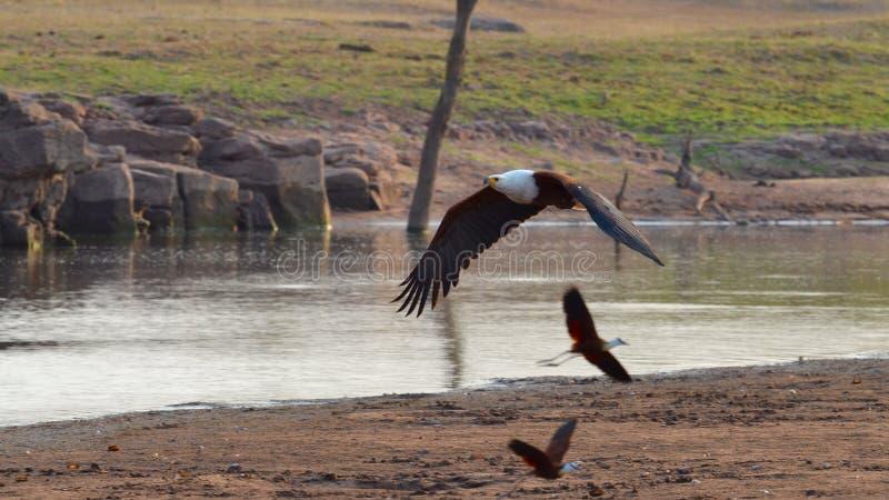 Latający Rybi Eagle fotografia stock