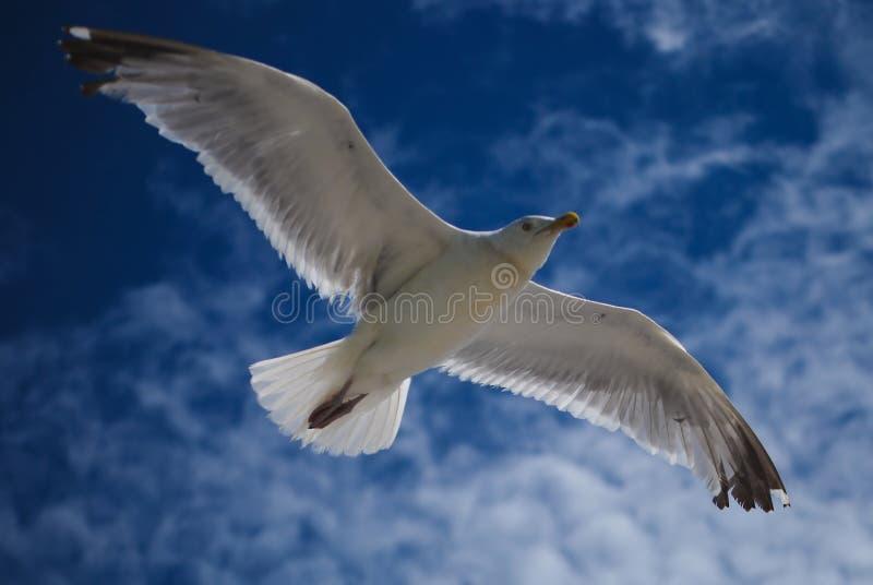latający seagull fotografia stock