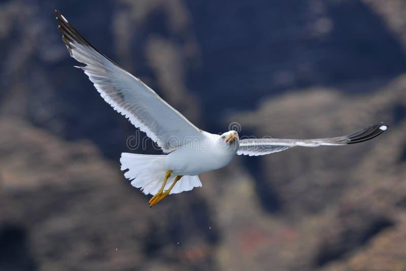 Latający seagull przed górami zdjęcie royalty free