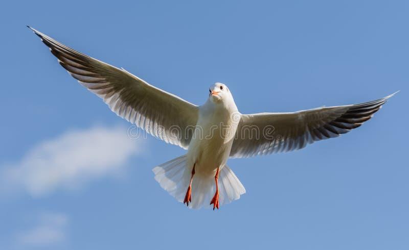 Latający seagull z skrzydeł rozprzestrzeniać! fotografia royalty free