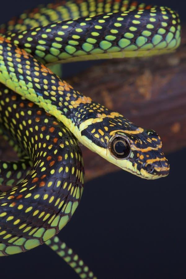 Latający wąż, Chrysopelea paradisi/ zdjęcie royalty free